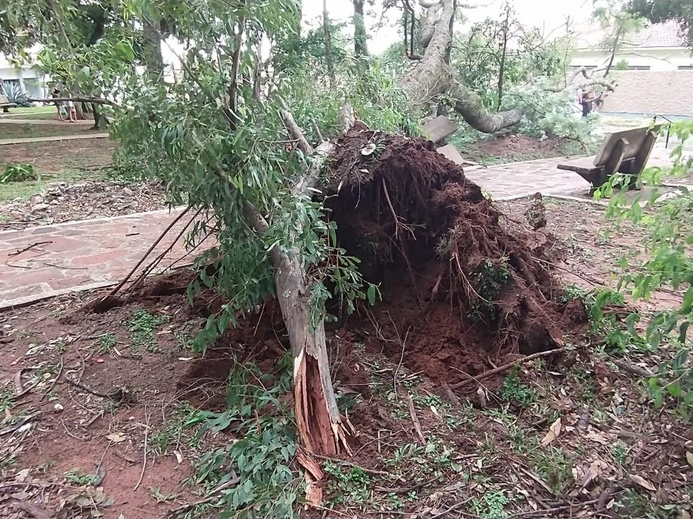 Segundo a Defesa Civil de Bocaina, árvore não apresentava sinais de putrefação — Foto: Defesa Civil/Divulgação