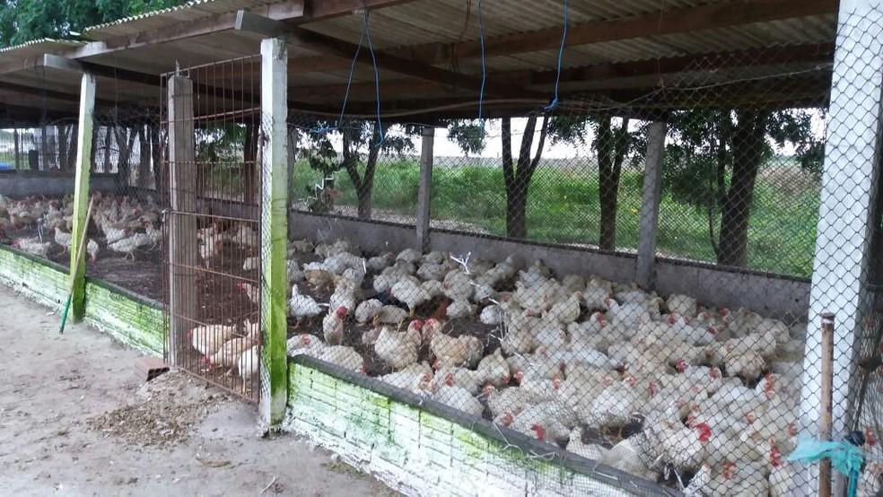 Cerca de 1.600 aves estavam em abatedouro clandestino na Grande Natal (Foto: Divulgação/ Sec. de Meio Ambiente de Ceará-Mirim)