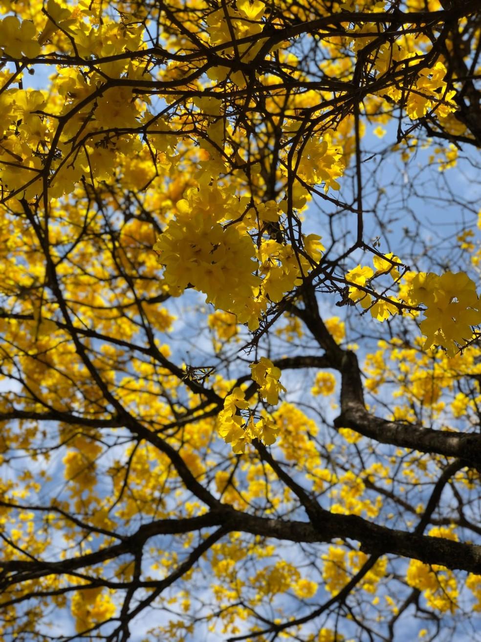 Flores e folhas do Ipê possuem ação anti-inflamatória e cicatrizante — Foto: Bell Villanova