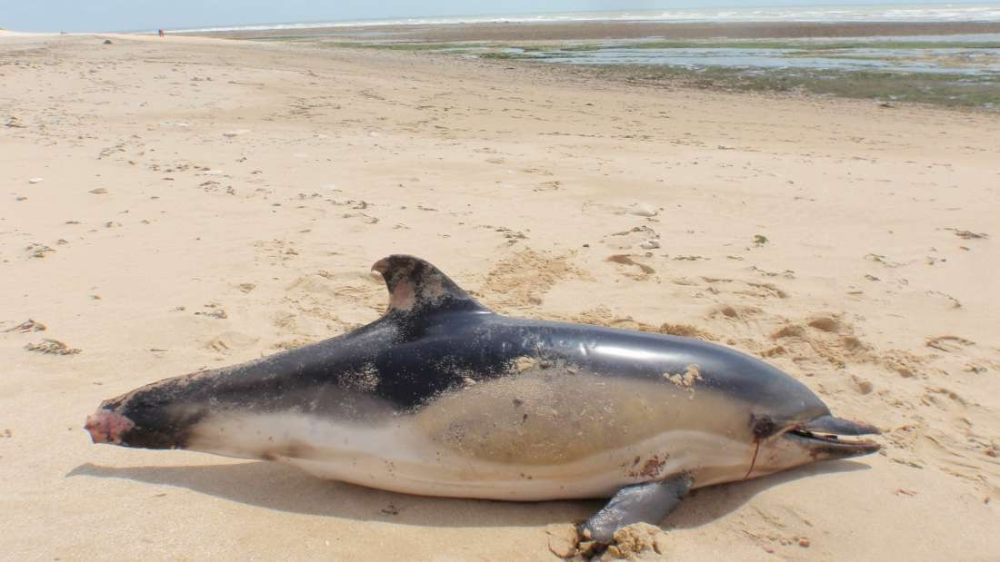 Pescadores cortam partes dos corpos dos golfinhos que ficam presos nas redes de pesca para que as redes fiquem intactas e possam ser usadas novamente (Foto: Observatório Pelagis / Université de La Rochelle)