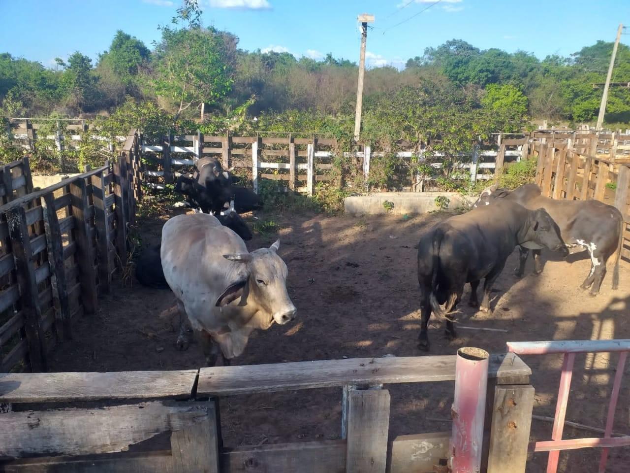 Polícia Militar localiza no Piauí 14 touros furtados de fazenda no Ceará