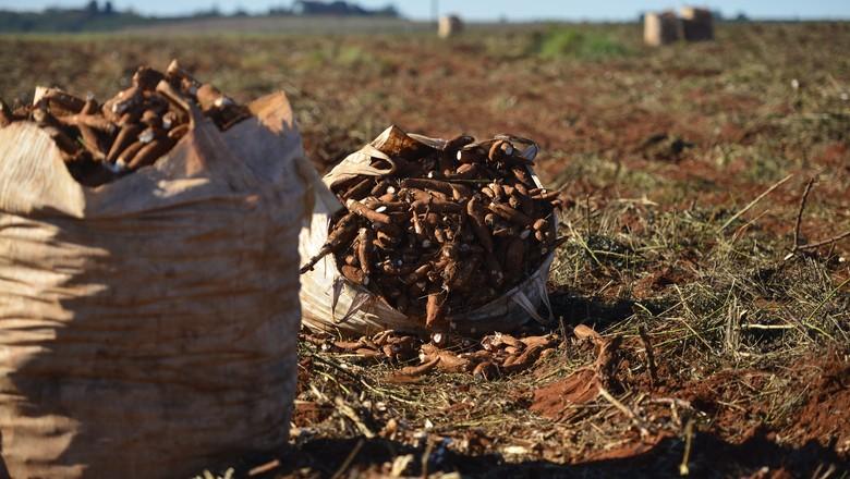 mandioca-produção-agricola-mandiocultura (Foto: Ernesto de Souza/Ed. Globo)