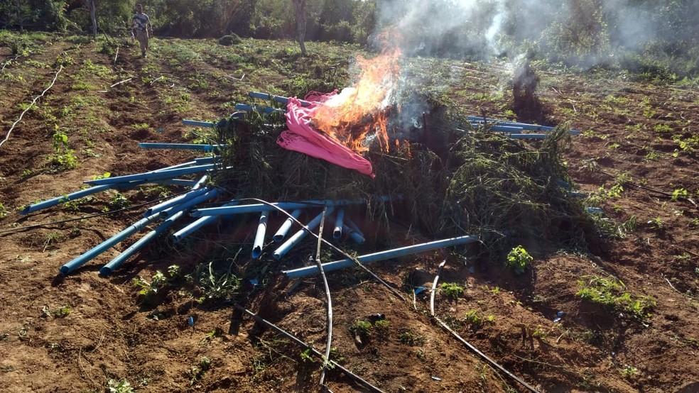 Maconha apreendida pela polícia foi queimada em Euclides da Cunha, na Bahia — Foto: Divulgação/SSP-BA