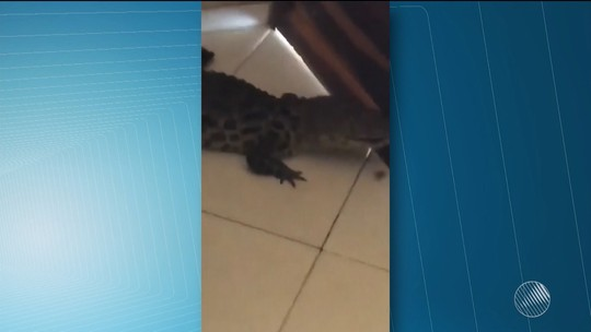 Jacaré invade residência no sudoeste da Bahia e moradores devolvem animal a lagoa