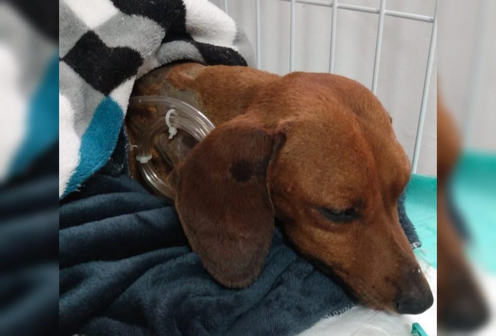 Após cirurgia de reconstrução, cachorro que foi enterrado vivo em Tatuí (SP) se alimenta com ajuda de sonda. — Foto: União Protetora do Animais/ Divulgação