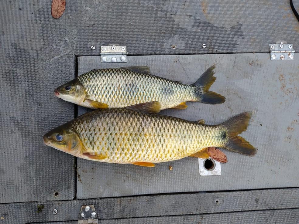Peixes capturados durante a piracema foram devolvidos ao Rio Paraná, em Paulicéia — Foto: Polícia Militar Ambiental