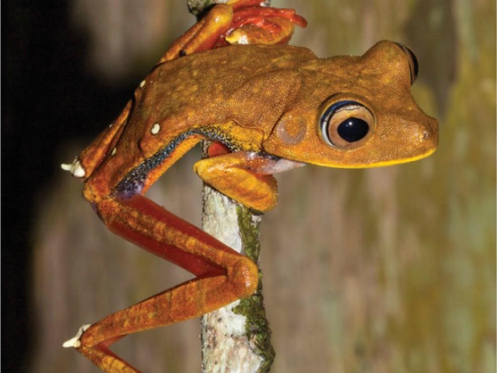 Hypsiboas diabolicus foi uma nova espécie de perereca identificada no Amapá em 2016 (Foto: Iepa/Divulgação)