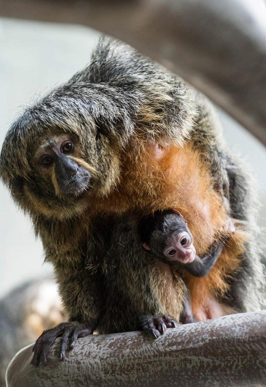 Filhote de parauacu, macaco que vive no norte da Amazônia, aparece no colo da mãe no zoológico da cidade suíça de Basileia (Foto: Basel Zoo/Divulgação)