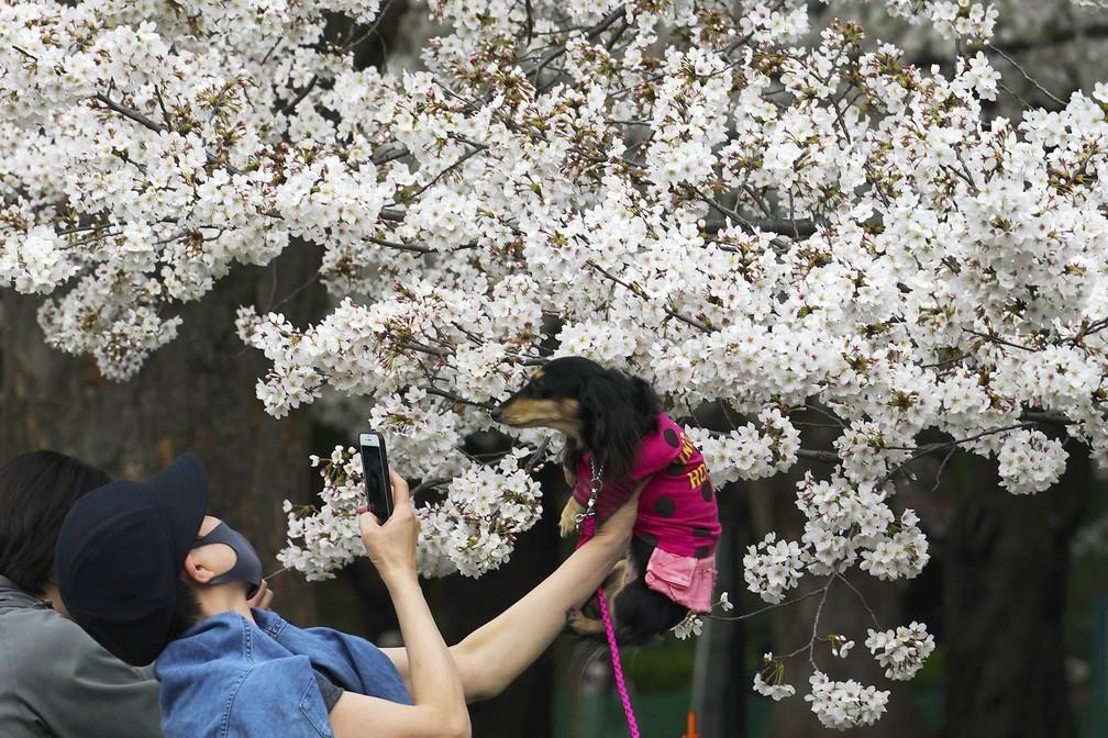 Mulher com máscara de proteção levanta seu cachorro de estimação para tirar uma foto sob as flores de cerejeira em 26 de março em Tóquio — Foto: Eugene Hoshiko/AP