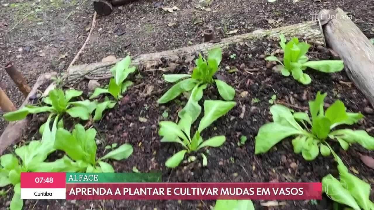 Aprenda a cultivar alface fresquinha em casa