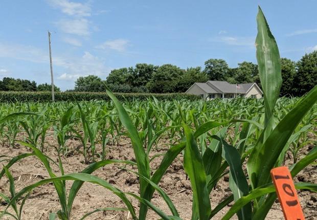 Plantação de milho usada para testes da startup Pivot Bio, que recebeu US$ 70 milhões em investimentos (Foto: Divulgação)
