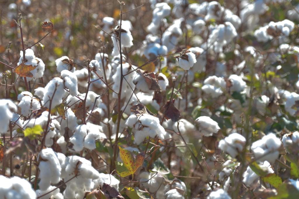 Plantação de algodão branco pode se tornar colorida no futuro (Foto: Getty)