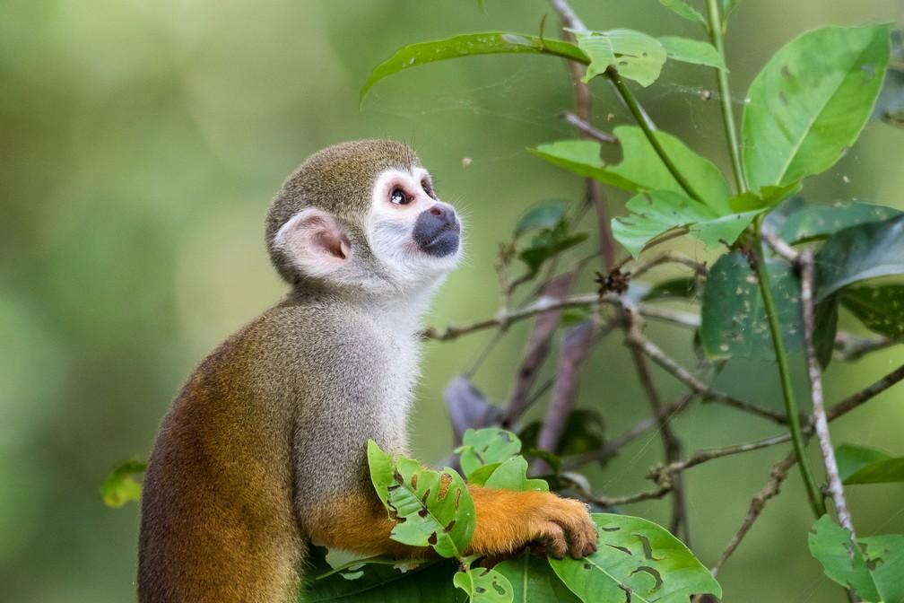 O macaco-de-cheiro ocorre em florestas tropicais, savanas e manguezais (Foto: Cristofer Martins/VC no TG)