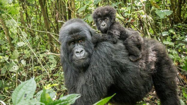 Gorilas são ameaçados por caçadores no Congo (Foto: GETTY IMAGES/via BBC News Brasil)