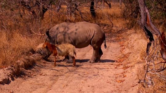 Caça ao rinoceronte na África do Sul também coloca em risco outras espécies