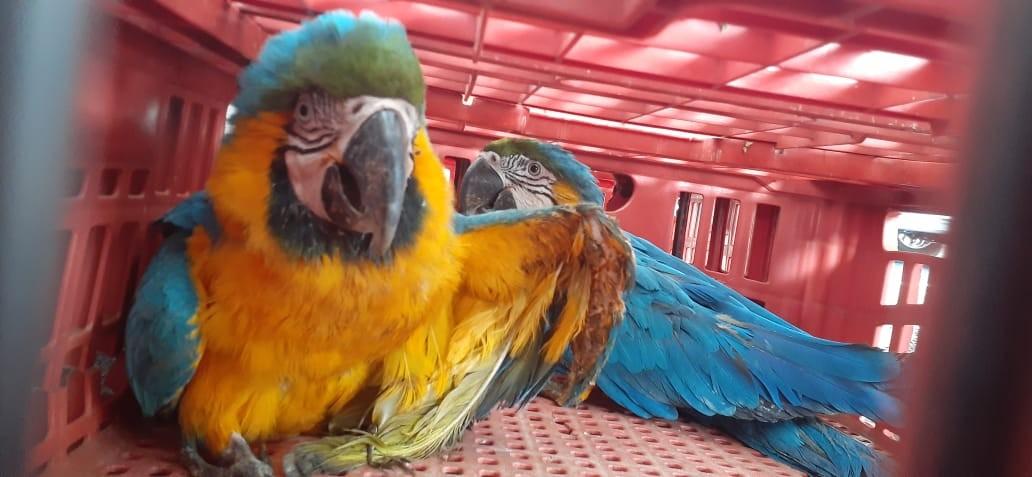 Animais silvestres resgatados na região de Ituiutaba são transferidos para Uberlândia