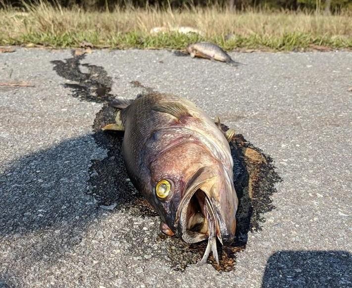 Peixes apareceram em rodovia após a passagem do furacão Florence  (Foto: Divulgação/ Penderlea Fire Department)