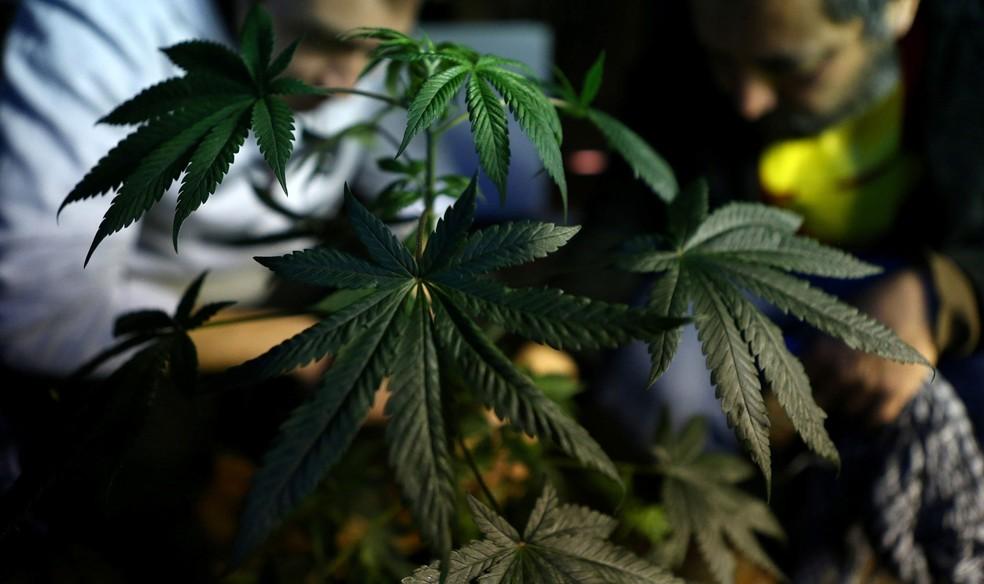 Canabidiol é uma das substâncias derivadas da maconha (cannabis sativa). (Foto: Reuters/Ivan Alvarado)