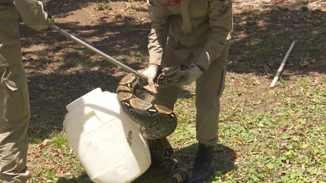 Cobra de dois metros é capturada pelos bombeiros