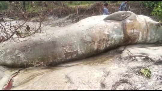 Baleia é encontrada morta em rio no Maranhão