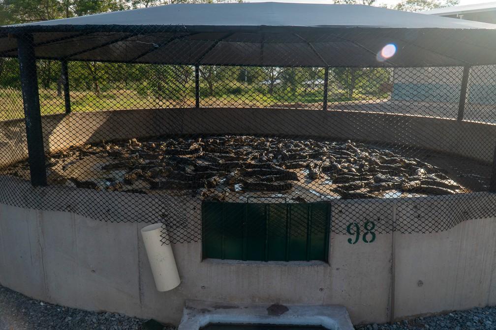 A empresa Caimasul, em Corumbá (MS), cria e abate jacarés para o comércio legalizado de peles e para o consumo da carne — Foto: Eduardo Palacio/G1
