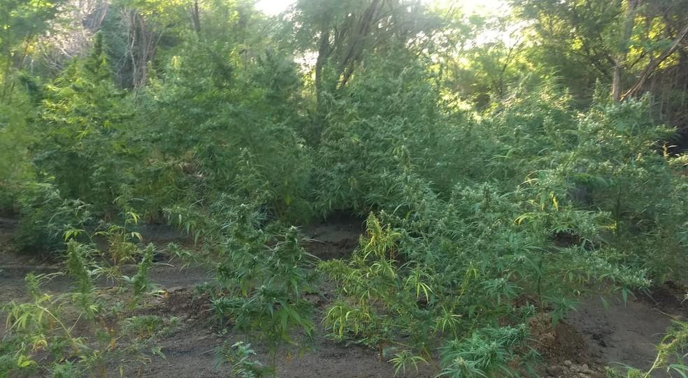 Maconha foi encontrada na Zona Rural de Orocó. (Foto: Divulgação/ Polícia Militar)