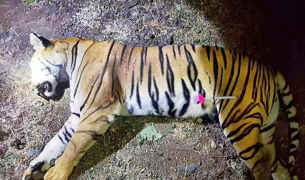 Animal, chamado T1 por caçadores e Avni por defensores da fauna, foi morto a tiros na floresta do estado de Maharashtra  â?? Foto: MAHARASHTRA FOREST DEPARTMENT/AFP