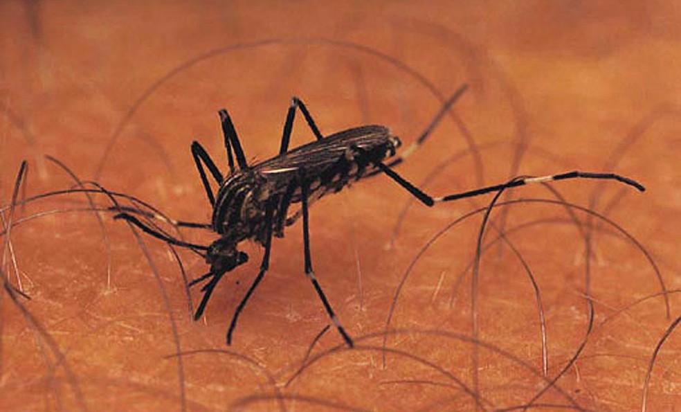 Aedes aegypti é o mosquito transmissor da dengue, zika e chikungunya — Foto: Prefeitura de Juiz de Fora/Divulgação