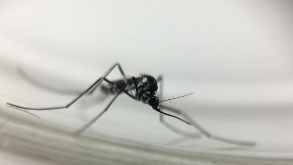 Febre amarela é transmitida no Brasil principalmente por mosquitos silvestres dos gêneros Haemagogus e Sabethes (Foto: Josué Damacena/IOC/Fiocruz)
