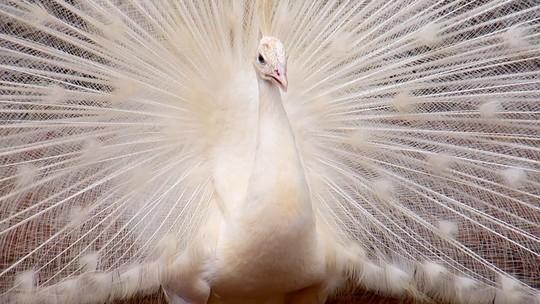 Aves ornamentais são fonte de renda para pequenos criadores