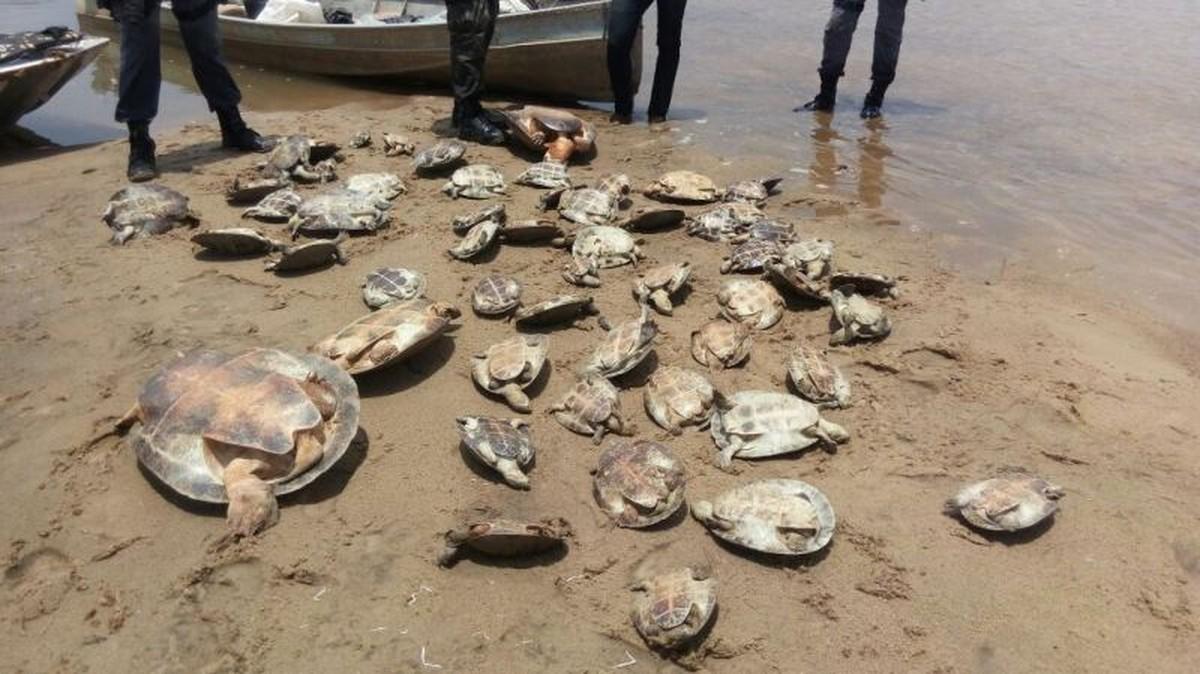 Adolescentes são flagrados pescando tartarugas para vender em MT; 60 animais são resgatados