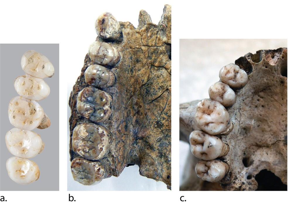 Comparação de dentes fósseis das espécies recém-descobertas Homo Luzonesis e a de Errectus Sapiensa desenterrada durante a escavação na Gruta de Callao, no norte da ilha de Luzon, no norte das Filipinas. — Foto: AFP PHOTO / Florent DETROIT / Florent DETROIT