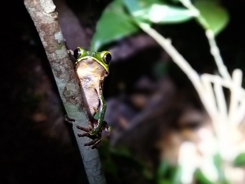 Perereca posa para lentes de pesquisadores em Vilhena (RO) — Foto: Thiago Baldine/ Arquivo pessoal