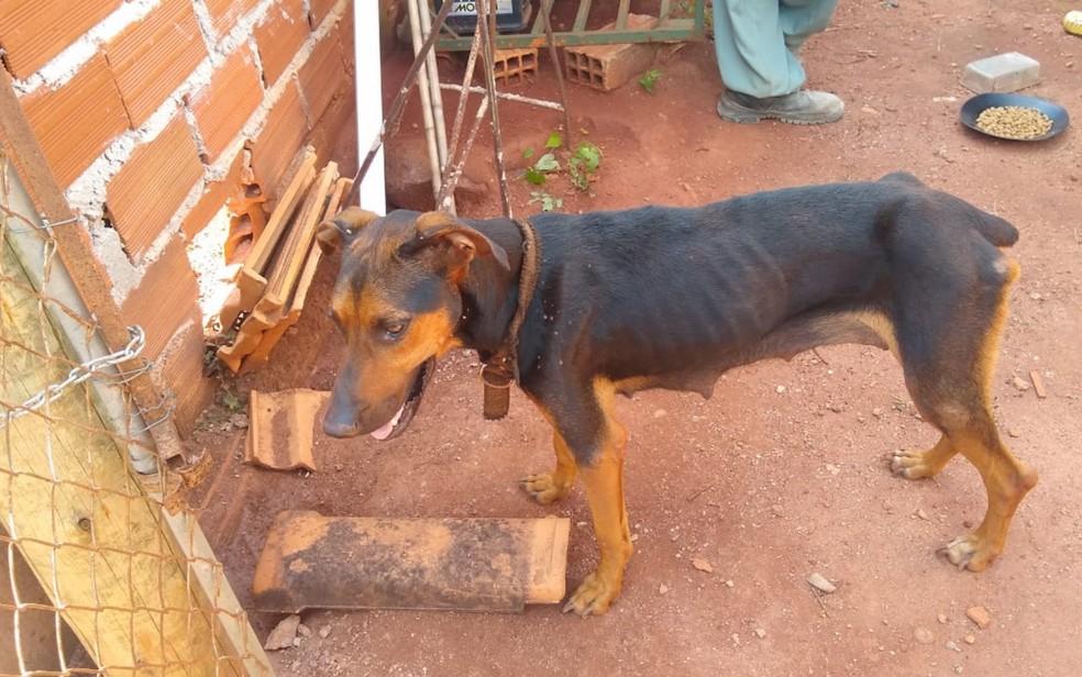 Cadela resgatada de casa em Morrinhos, na região sul de Goiás; polícia diz que ela e filhotes eram vítimas de maus-tratos — Foto: Polícia Civil/Divulgação