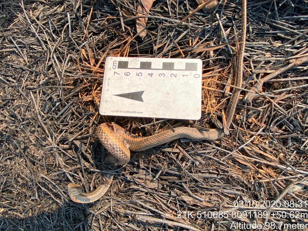 Helicops boitata, espécie de serpente encontrada apenas no Pantanal, morta por queimadas no Pantanal em 2020 — Foto:  Marcos Ardevino/Arquivo Pessoal