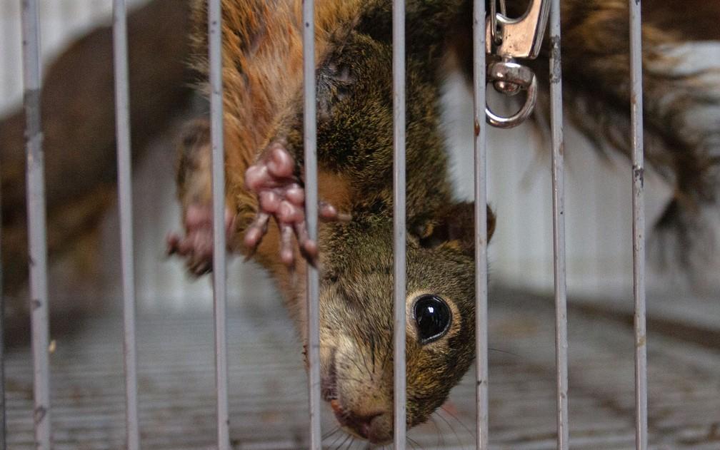 Esquilo brinca em gaiola; ele se recupera antes de ser reinserido no meio ambiente — Foto: Deslange Paiva/G1