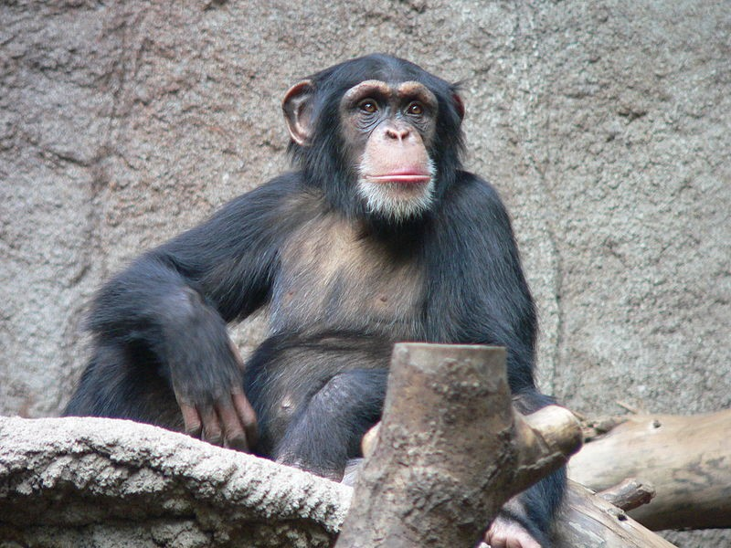 Chimpanzé-comum (Pan troglodytes) (Foto: Wikipedia Commons)