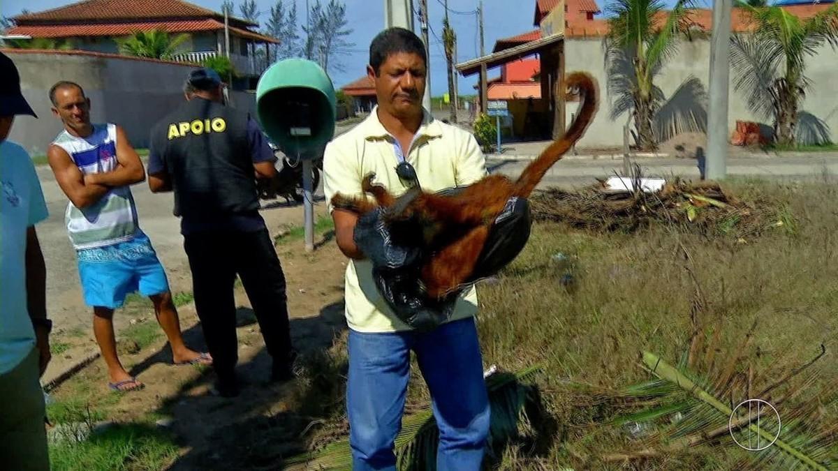 Morte de macaco bugio encontrado ainda vivo em condomínio de Cabo Frio, RJ, será investigada