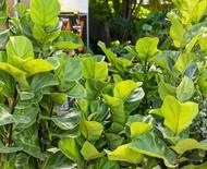 Ficus Lyrata: como cultivar a espécie e dicas de cuidados