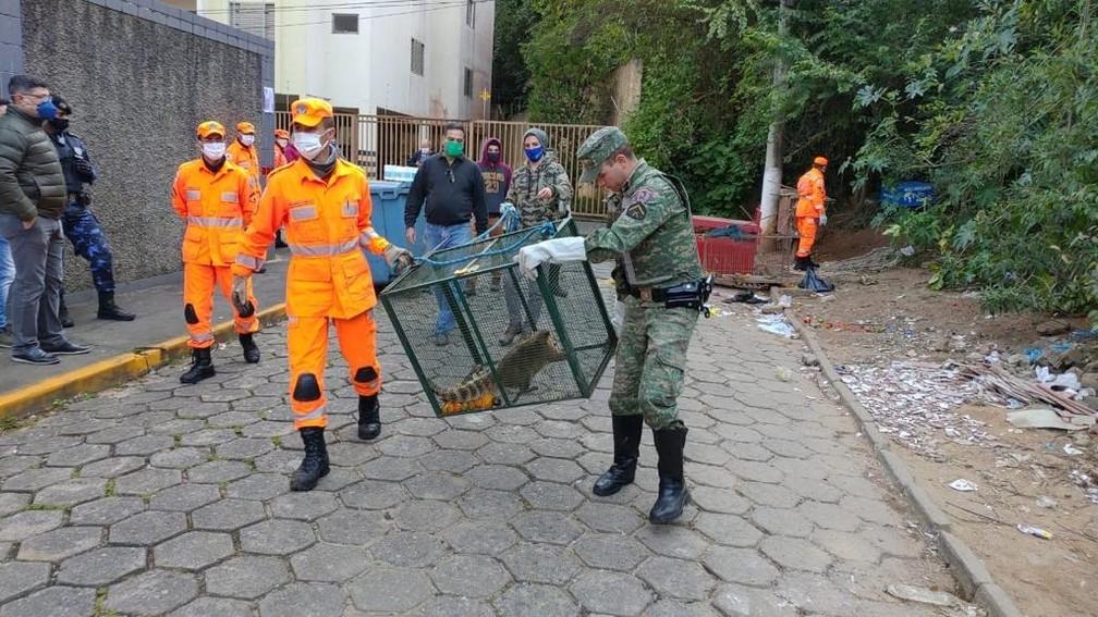 Quatis foram capturados em bairro de Itajubá (MG) — Foto: Corpo de Bombeiros