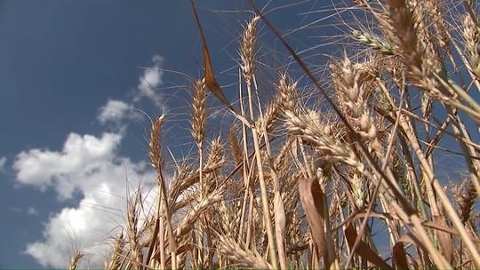 Safra de trigo castigada pelo clima entra em fase de colheita, no Paraná