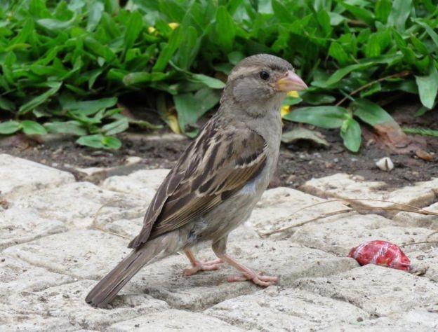 Antes um dos pássaros mais comuns de São Paulo, pardal está se tornando mais raro (Foto: JOSÉ CARLOS MOTTA-JUNIOR )
