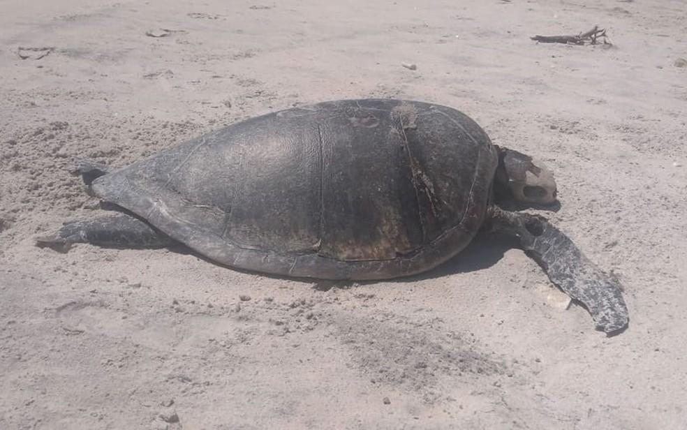 Tartaruga marinha achada na praia de Acuípe, em Ilhéus, no último fim de semana — Foto: Hilton Almeida/Arquivo Pessoal