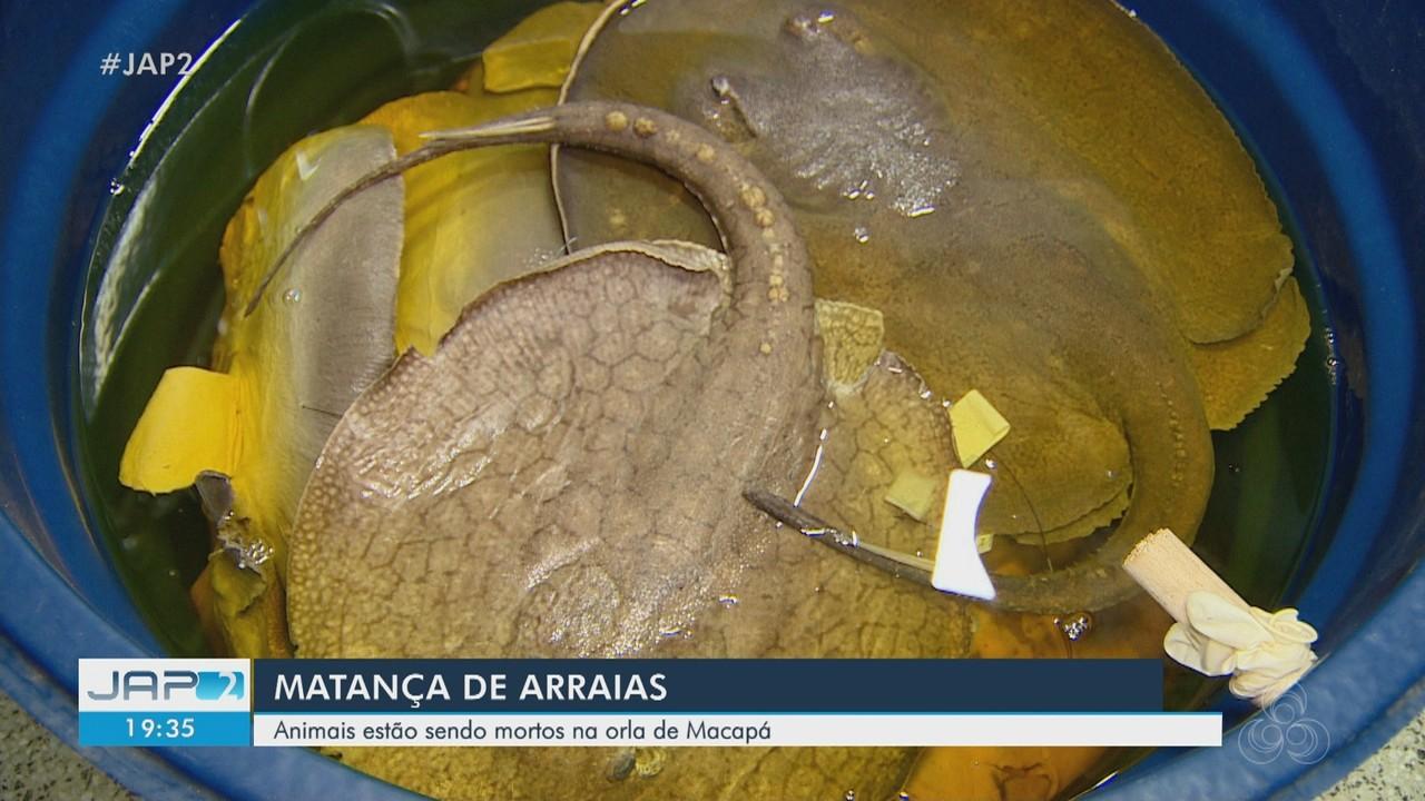 Morte de arraias aumenta na orla de Macapá