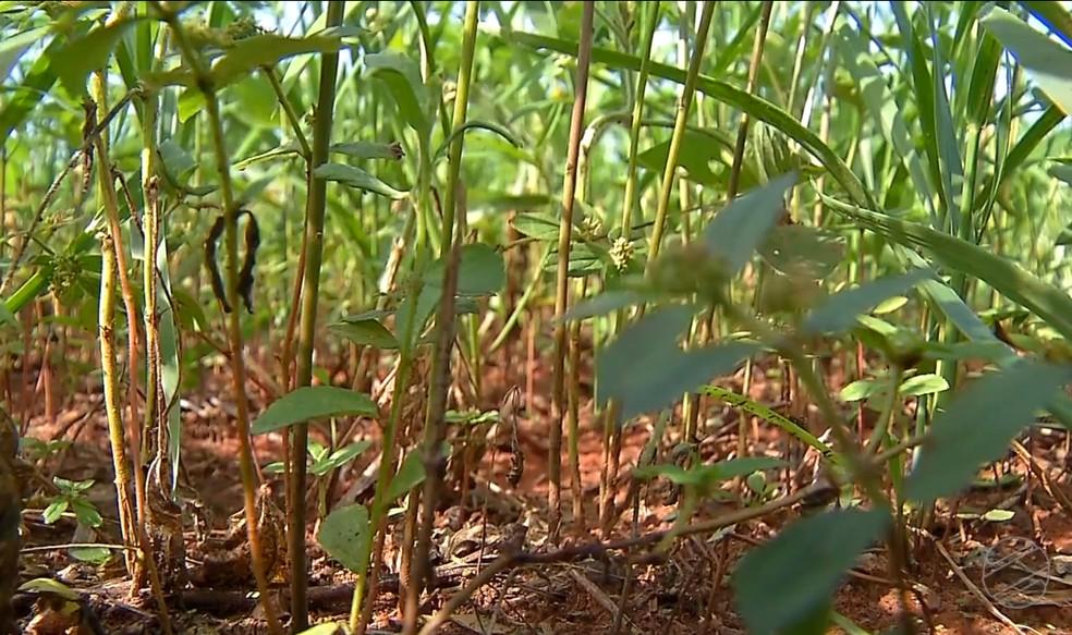 Planta aumenta a quantidade de nutrientes na superfície do solo â?? Foto: Reprodução/TVCA