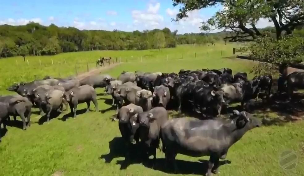 Fazenda de MT investe na criação de búfalos — Foto: Reprodução/TVCA