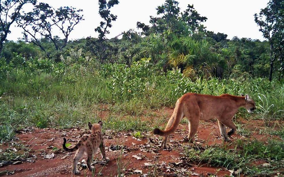 Onça parda e filhote flagrados no Parque Nacional de Brasília, em imagem de arquivo — Foto: Parque Nacional de Brasília/Reprodução