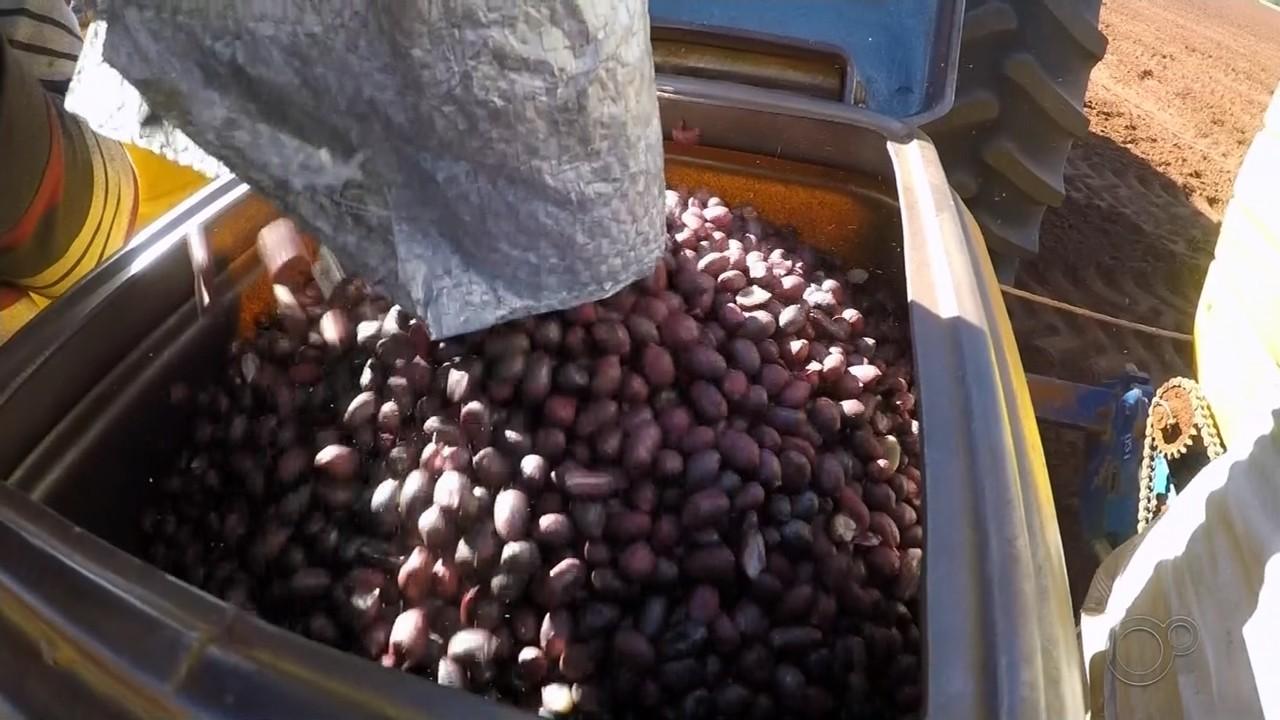 Plantio de amendoim atrasa em Paraguaçu Paulista