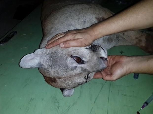 Onça atropelada foi encaminhada a Unesp de Botucatu (Fot Arquivo / Zoo Bauru)