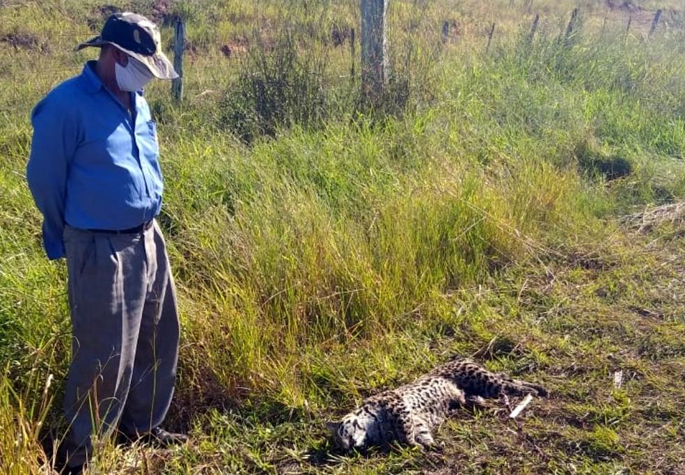 Felino foi encontrado atropelado em uma estrada vicinal de Sagres — Foto: Camila Iembo/Cedida